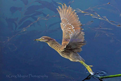 Juvenile black crowned night heron taking off