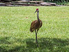 Sandhill crane at the Nature Center, Kensington Metropark.<br /> <br /> The small flock of cranes that nest in the wetlands around the lake aren't tame, but they're acclimated to human presence, and don't seem to feel threatened by it.  It is common when you encounter them to be able to walk quite close to them without seeming to affect their behavior.  If you stand still when they begin to move, they can walk within a few feet of you as though it's the most normal thing in the world.