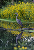 Great blue heron on an early morning fishing expedition