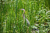 Fishing.<br /> Great Blue Heron.<br /> <br /> Wildwing Lake, Nature Center, Kensington Metropark, Michigan<br /> July 6, 2013