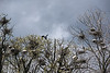 D137-2014  Heron rookery, occupied also by egrets and double-crested cormorants this year<br /> <br /> Wildwing Lake, Kensington Metropark, Michigan<br /> May 17, 2014