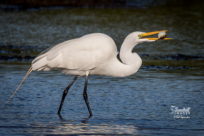 Great egret with poor meal choice, a pufferfish. I don't think it went down.