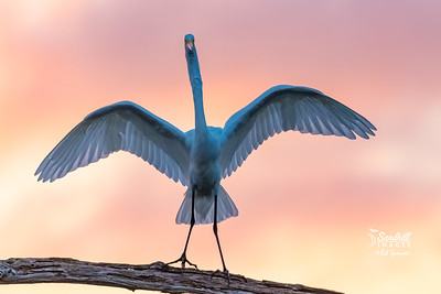 Great egret backlit at sunset