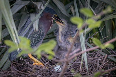 Green heron feeding chick.