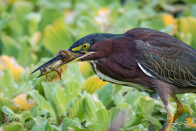 Green heron with unfortunate frog (and he knows it)