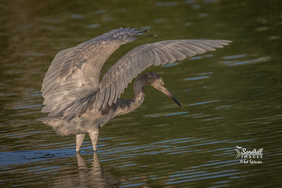 Immature reddish egret has learned its natural shading behavior