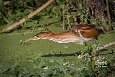 Least bittern on the hunt for fish. Rare to see them out in the open.