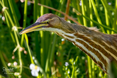 American bittern skulking through the reeds. Very secretive birds.