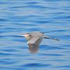 Great Blue Heron<br /> Ardea herodias <br /> Los Arcos, Mexico<br /> March 06, 2013<br /> 2013 Bird Count #8