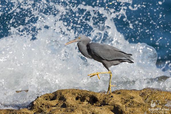 Eastern Reef Egret