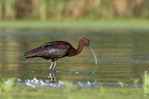 Sept 1st: Glossy Ibis at Jamaica Bay Wildlife Refuge
