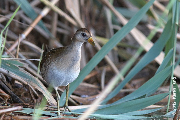 9 September: Sora at the East Pond of Jamaica Bay Wildlife Refuge
