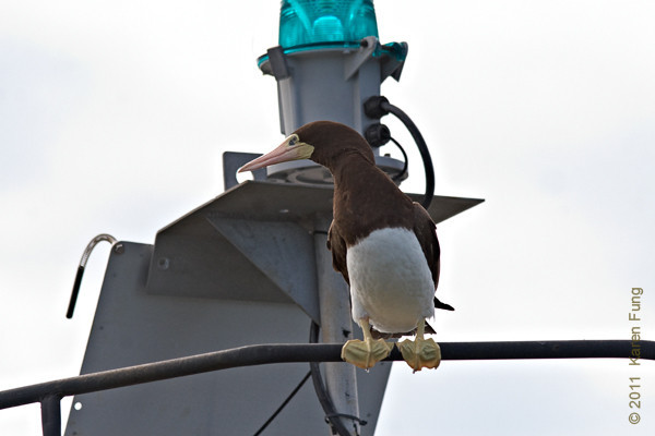 """22 August: Female Brown Booby at Cape May, viewed from The Osprey pontoon boat (Osprey Wetland Tours, 609-898-3500) <a href=""""http://birdingbyboat.com/"""">http://birdingbyboat.com/</a>"""