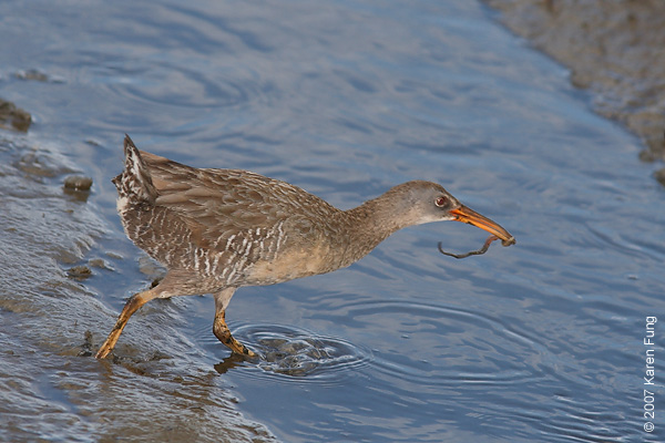 Clapper Rail at the Marine Nature Study Area in Oceanside, NY