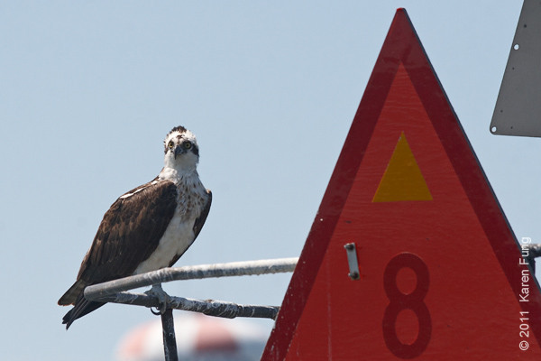 """22 August: Osprey at Cape May, viewed from The Osprey pontoon boat (Osprey Wetland Tours, 609-898-3500) <a href=""""http://birdingbyboat.com/"""">http://birdingbyboat.com/</a>"""