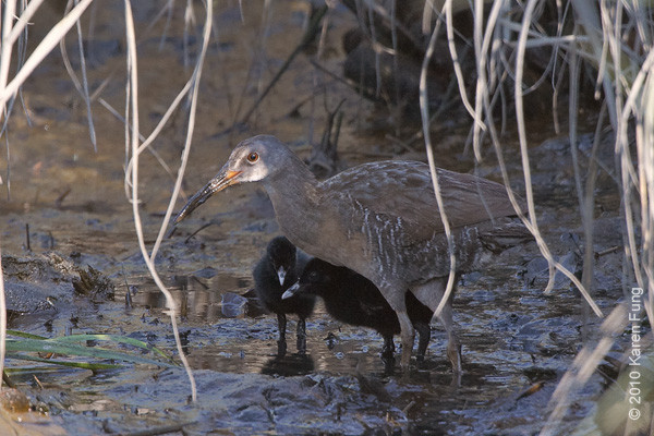 31 July: Clapper Rail with chicks