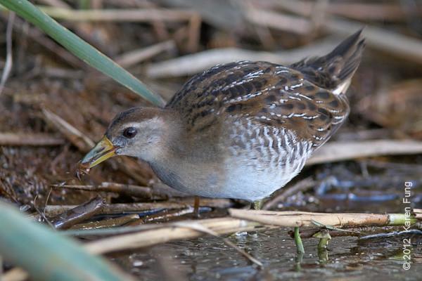 9 September: Sora feeding on the East Pond of Jamaica Bay Wildlife Refuge
