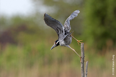 May 18th: Yellow-crowned Night-Heron preparing for take-off at the Oceanside Marine Nature Study Area