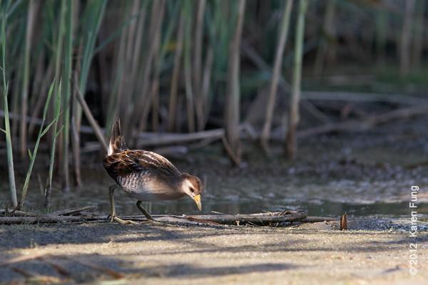 9 September: Sora at the East Pond of Jamaica Bay Wildlife Refuge
