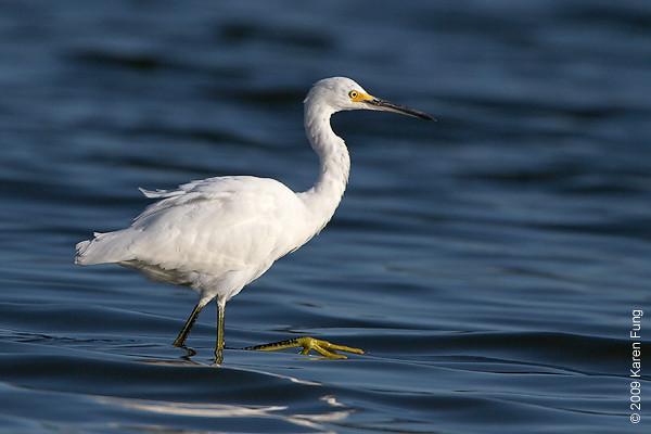 Sept 1st: Snowy Egret at Jamaica Bay Wildlife Refuge