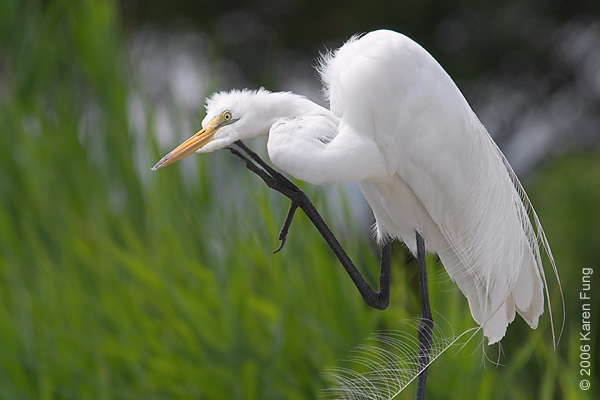 Great Egret at the Marine Nature Study Area in Oceanside, NY