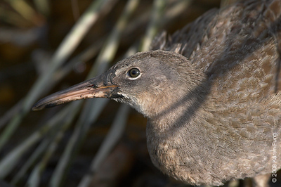 August 24th: Clapper Rail at the Marine Nature Study Area in Oceanside, NY