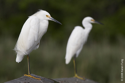 August 24th: Snowy Egret duo at the Marine Nature Study Area in Oceanside, NY