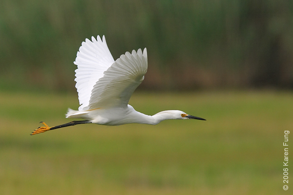Snowy Egret at the Marine Nature Study Area in Oceanside, NY