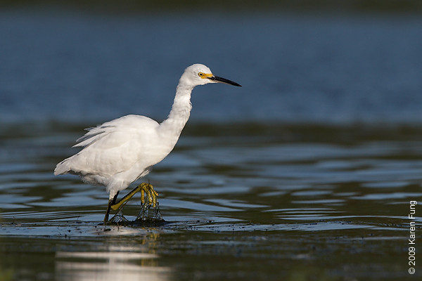 Sept 1st: Snowy Egret at Jamaica Bay Wildlife Refuge