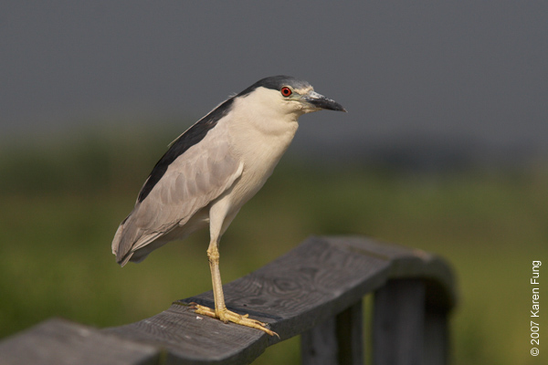 Black-crowned Night-Heron at the Marine Nature Study Area in Oceanside, NY