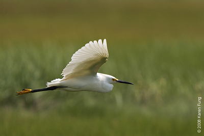 July 9th: Snowy Egret at the Oceanside Marine Nature Study Area