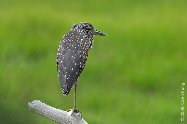 Juvenile Yellow-crowned Night-Heron at the Marine Nature Study Area in Oceanside, NY