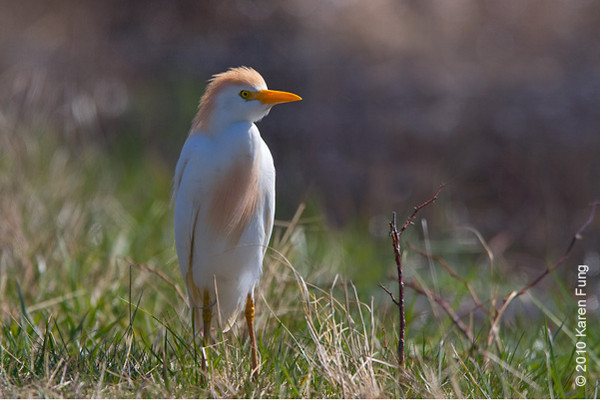 3 April: Cattle Egret in Montauk
