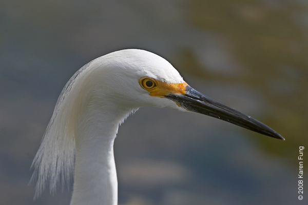 May 18th: Snowy Egret at the Oceanside Marine Nature Study Area