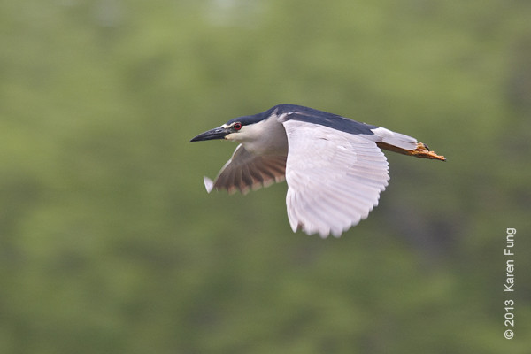 16 May: Black-crowned Night-Heron in Central Park
