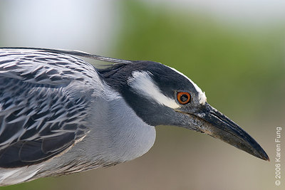 Adult Yellow-crowned Night-Heron at the Marine Nature Study Area in Oceanside, NY