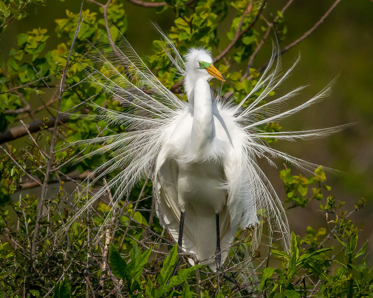 Great Egret, Rookery at Smith Oaks, High Island, Texas