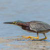 Green Heron, Tiger Tail Beach, Marco Island, Florida