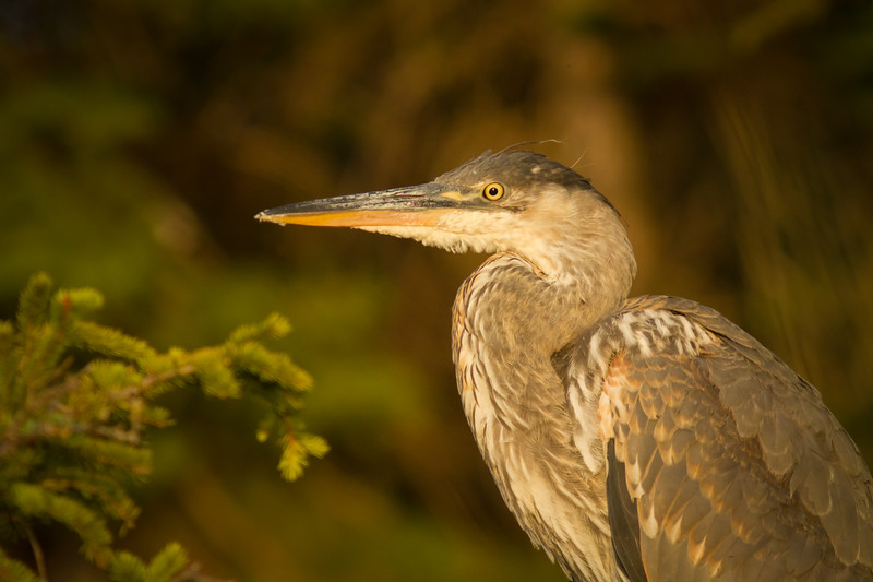 Great Blue Heron, Wildhorse Lake, Alberta