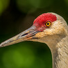 Sandhill Crane, George C. Reifel Bird Sanctuary, Delta, British Columbia