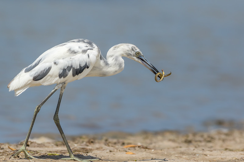 Little Blue Heron, Tiger Tail Beach, Marco Island, Florida