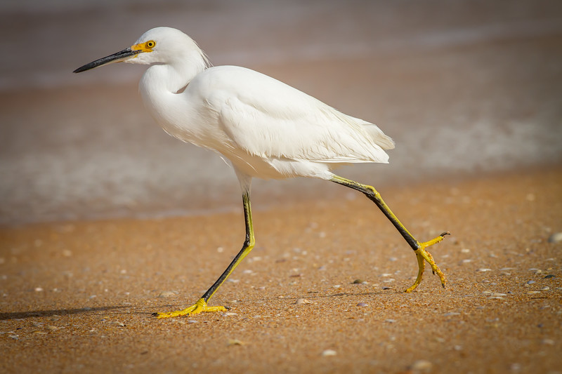Snowy Egret, North Peninsula State Park, Florida