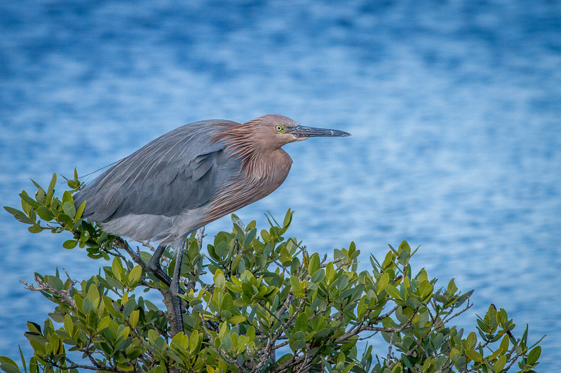 Reddish Egret, Black Point Wildlife Drive, Merritt Island National Wildlife Refuge, Florida