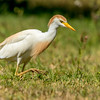 Cattle Egret, Dry Tortugas National Park, Florida
