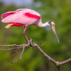Roseate Spoonbill, Rookery at Smith Oaks, High Island, Texas