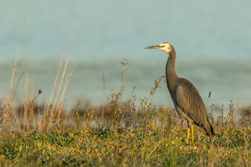 White-faced Heron, Miranda Shorebird Centre, New Zealand