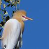 Cattle egret (Ardea ibis)