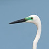 Eastern Great Egret (Ardea modesta)