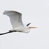 Eastern Great Egret (Ardea modesta), Schusters Park, Tallebudgera Creek, Queensland.