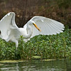 Egret with a fish
